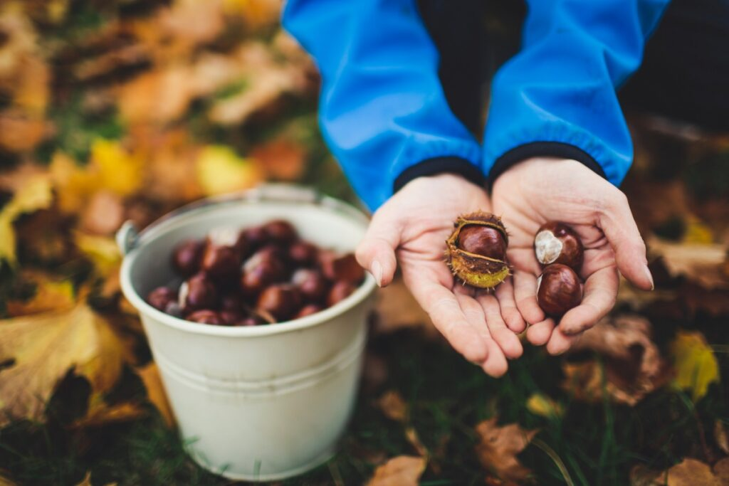 Mann sammelt Kastanien im Laub mit Kübel und hält sie in der Hand in die Kamera